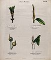 Four plants, all with different forms of bracts, sheaths or Wellcome V0044561.jpg