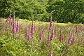 Foxgloves in High House Waste (4490).jpg