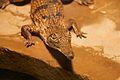 Frankfurt Zoo - Australian Freshwater Crocodile 2.jpg