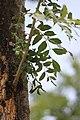 Fraxinus ornus - Crni jasen (8).jpg