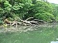 Frenchman's Creek Helford River - fallen tree - geograph.org.uk - 850501.jpg