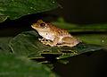 Frilled Tree Frog (Rhacophorus appendiculatus) feeding mosquitoes (15488293955).jpg