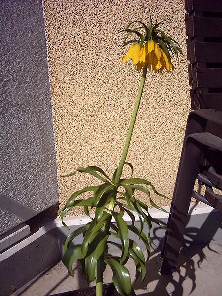 Kapalı çiçek kalatea: dikim ve bakım