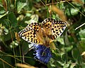 Fritillary on Sheepsbit - geograph.org.uk - 1365143.jpg