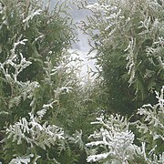 Frost on white cedar in fog 1.jpg
