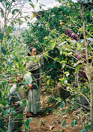 Agriculture in Ethiopia - A fruit orchard in Ethiopia