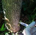 Fungal inoculation of Ailanthus trees (17564272952).jpg