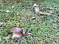 Fungi of Lublin Voivodeship in August 2019, 10.jpg