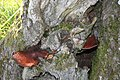 Fungus on the oak - geograph.org.uk - 992076.jpg