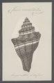 Fusus coronatus - - Print - Iconographia Zoologica - Special Collections University of Amsterdam - UBAINV0274 083 07 0016.tif