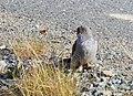 Gök Common Cuckoo (20342027662).jpg