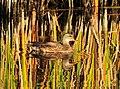 Gadwall on Seedskadee National Wildlife Refuge (21984962372).jpg