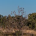 Galah vicinity of pond near Burke River Boulia Queensland P1030805.jpg