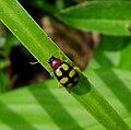 Galerucinae Leaf beetle. Chrysomelidae - Flickr - gailhampshire.jpg