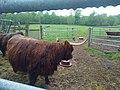 Gambaiseuil - vaches écossaises.jpg