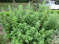 Gardenology.org-IMG 2770 rbgs11jan.jpg