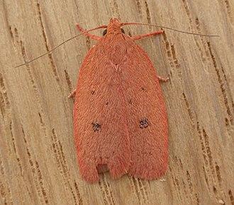 Oecophorinae - Adult Garrha pudica, Aranda, Australia