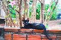 Gatos preto no muro.JPG