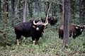 Gaur (Bos gaurus) MH India.jpg