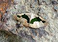 Geometridae. Ennominae. Celenna festivaria - Flickr - gailhampshire.jpg