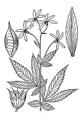 Südliche Dreiblattspiere Wikipedia