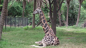 Giraffa camelopardalis from Nehru Zoological park Hyderabad 4374.JPG