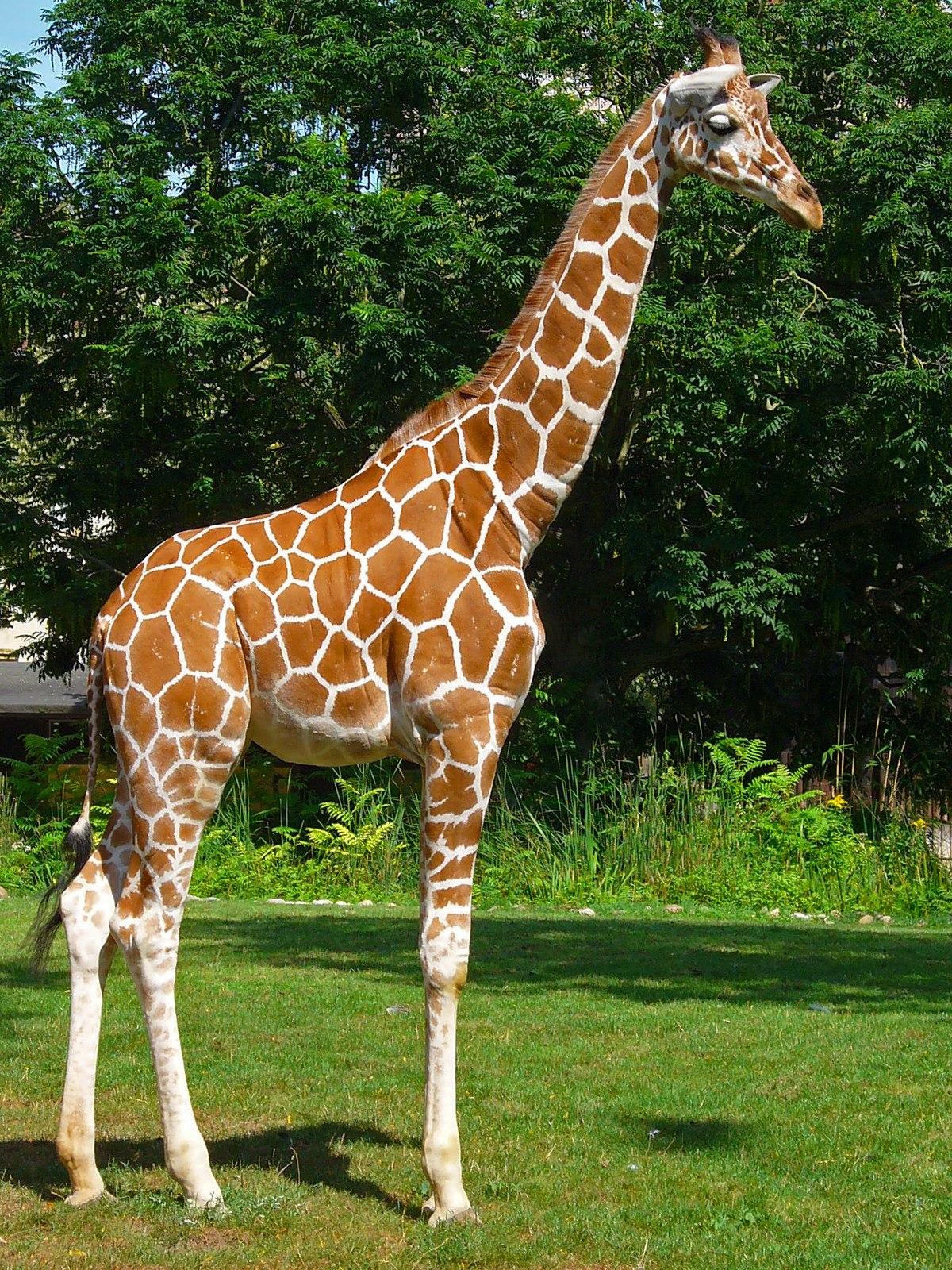 Giraffa reticulata wikipedia la enciclopedia libre for Taxonomia de la jirafa