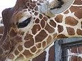 Giraffe (244075831).jpg