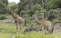 Giraffe and zebra drinking together at the Kruger Park morning water pub. (20329421881).jpg