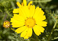 Glebionis coronaria - Crown Daisy 01.jpg