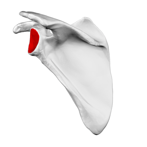 file:glenoid cavity of scapula02 - wikimedia commons, Cephalic Vein