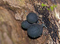 Globose Fungi (Id ?) (15446754316).jpg