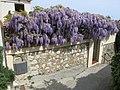 Glycine du chemin des pins (Roquebrune).jpg
