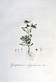Gnaphalium uliginosum — Flora Batava — Volume v6.jpg