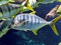Gnathanodon speciosus 01 by Line1.JPG