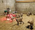 Goat kids under infrared lamp (2).jpg