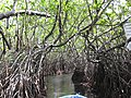 Going right into the mangroves (7567711942).jpg