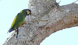 Golden-collared Macaw (Primolius auricollis) - 48265497047.jpg