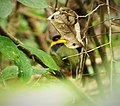 Golden-collared Manakin. Manacus vitellinus (42792807901).jpg