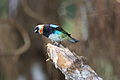 Golden-hooded Tanager (Tangara larvata) (4505551416).jpg