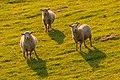 Golden Sheep (21811943363).jpg