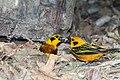 Golden Tanager Tangara Dorada (Tangara arthus arthus) (27252389942).jpg