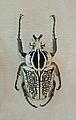 Goliathus orientalis meleagris-Musée d'histoire naturelle et d'ethnographie de Colmar.jpg