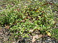 Gomphrena celosioides plant10 (14440241857).jpg