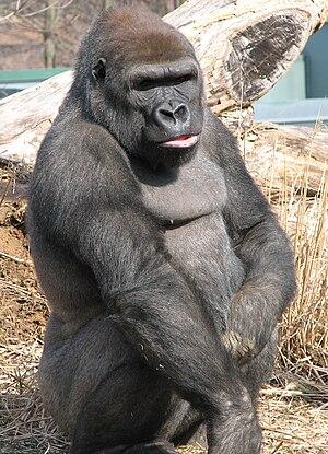 Louisville Zoo - Western Lowland Gorilla