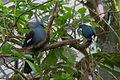 Goura cristata (Goura couronné) - Caloenas nicobarica (Nicobar à camail) - 366.jpg