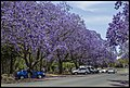 Grafton Street Jacaranda-04 (22642051626).jpg