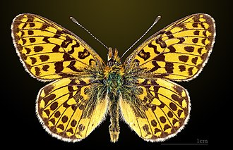 Pearl-bordered fritillary - Image: Grand collier argenté MHNT CUT 2013 3 21 Lalbenque Dos