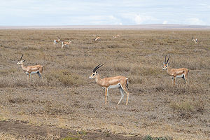 Nechisar National Park - The park has a notable population of Grant's gazelle