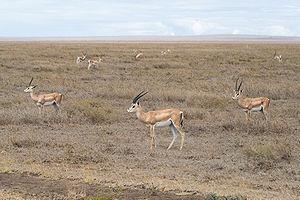 Grant's gazelle - Grant's gazelles at dry brushland